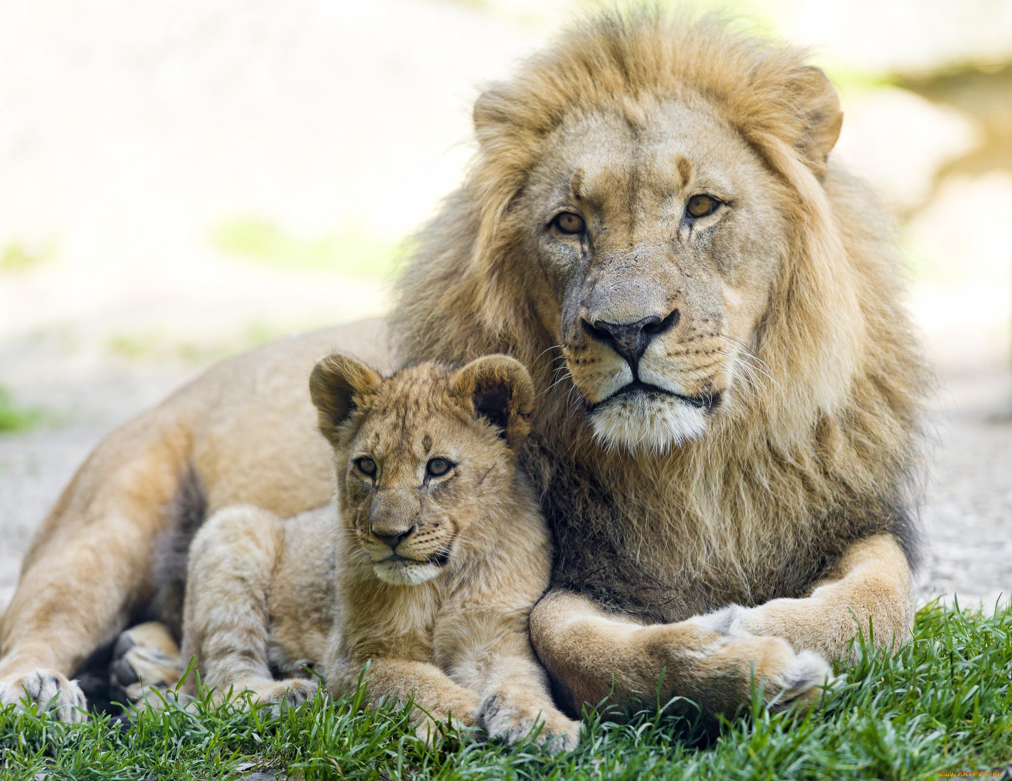 или картины со львами фото временем
